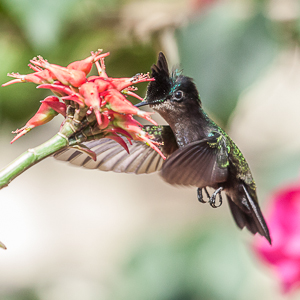 Orthorhyncus cristatus -Antillean Crested Humming Bird photographed at the Almond Beach Resort- A review of the Almond Beach Resort at Speightstown in Bardados - photograph taken by John James of jj99