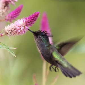 and other humming birds taken in California and Tobago also includes Costa Hummingbird